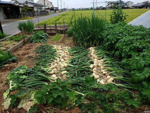 春野菜の代表 新玉ねぎの葉っぱ