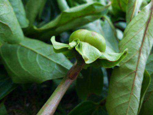 柿の葉茶作ってみました🎵